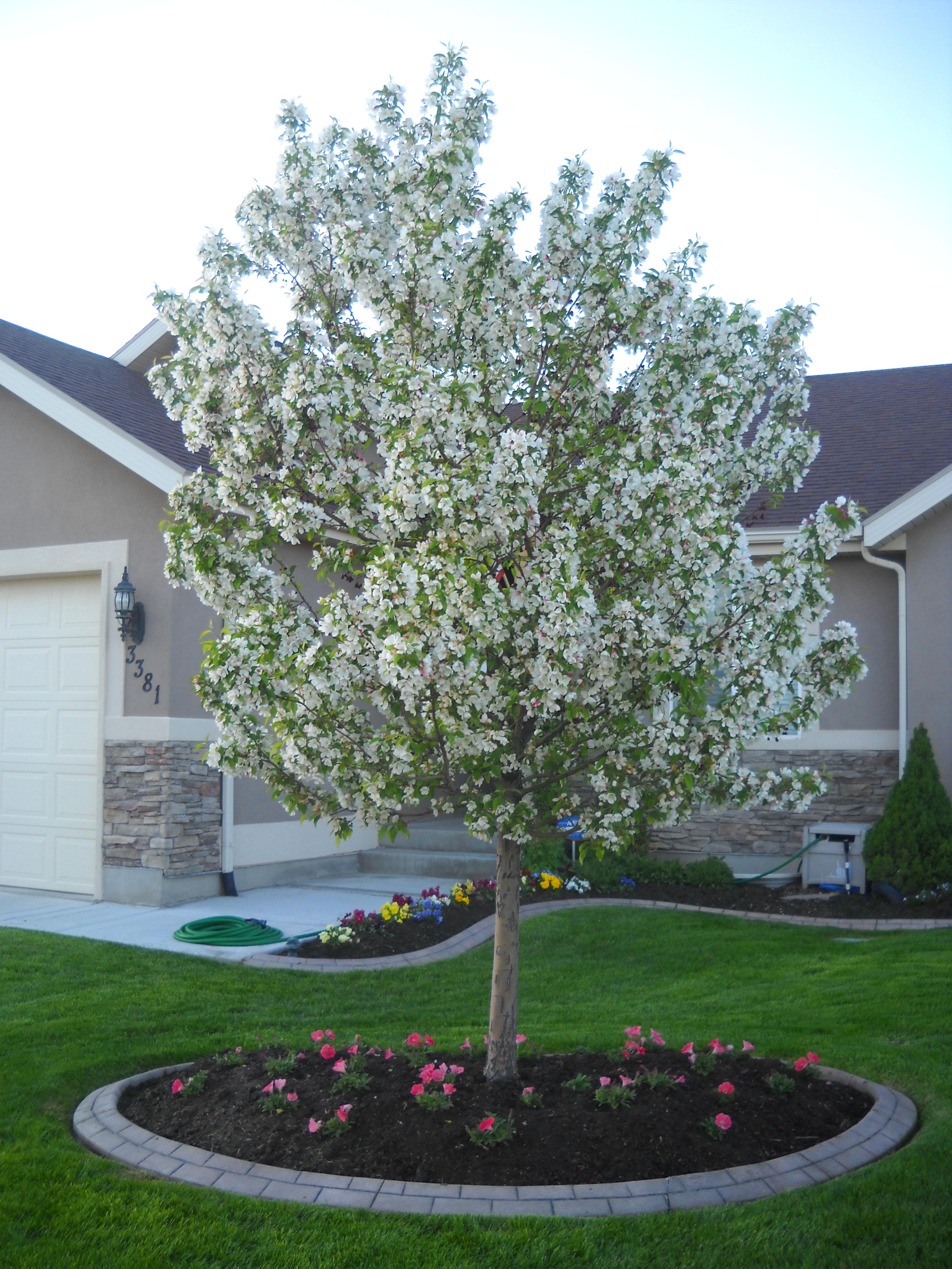 Flowering crab apple tree writing my life our flowering crab apple tree mightylinksfo